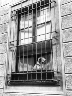 A Florentine dog surveys his kingdom. Photo by Allison Boyd, Marist Italy MA